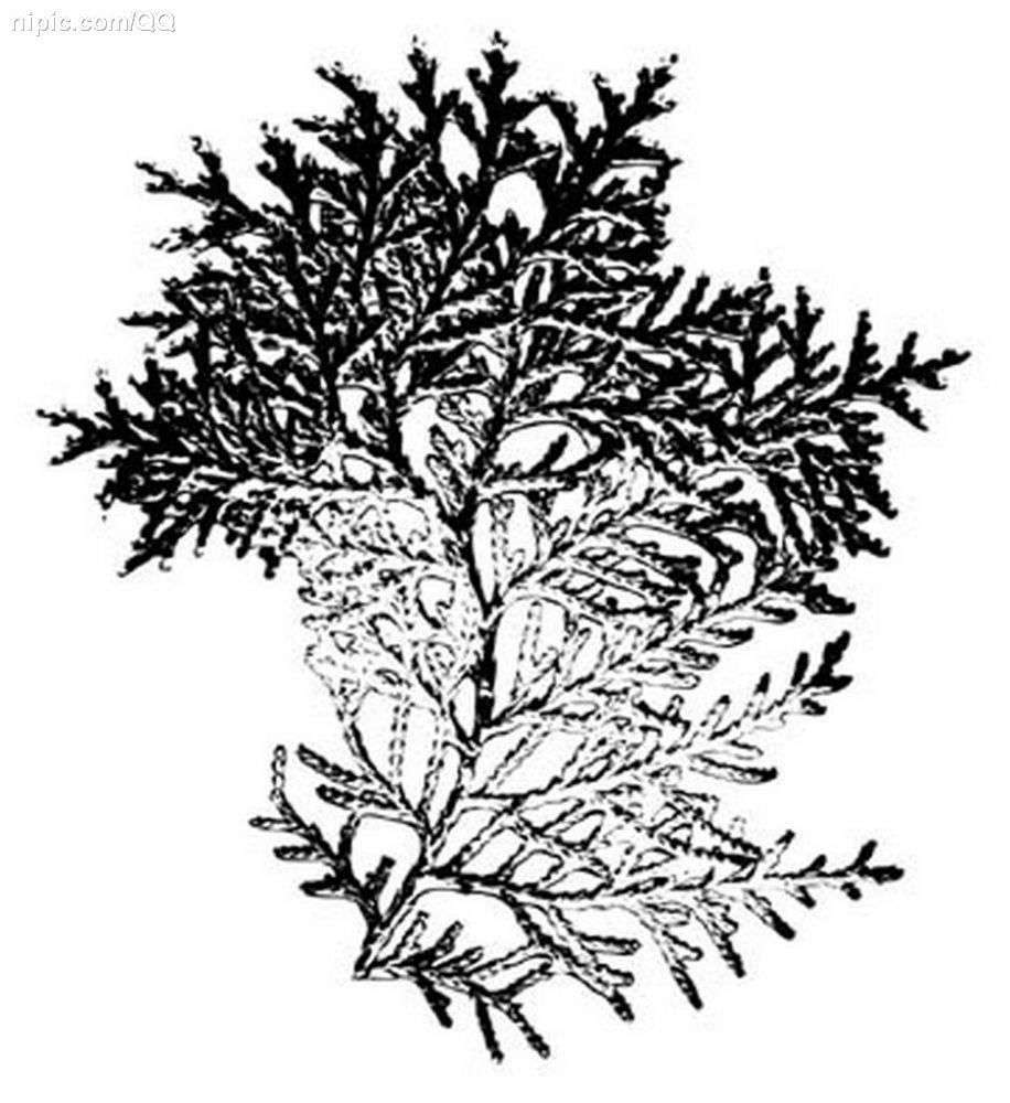 柏树矢量图片-最新柏树矢量图片大全   松树柏树松柏矢量素材行道树