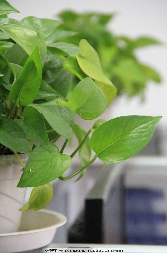 首页 装修图片 绿罗图片-最新绿罗图片大全   绿萝盆栽办公室室内盆栽
