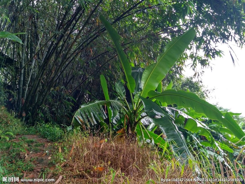 首页 装修图片 芭蕉树图片-最新芭蕉树图片大全   屋下人物和芭蕉树