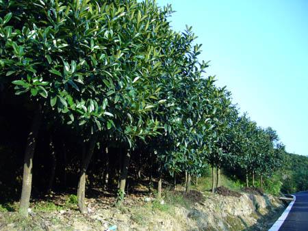 苦丁树图片-最新苦丁树图片大全   供应百年老茶树茶叶树苦丁茶树