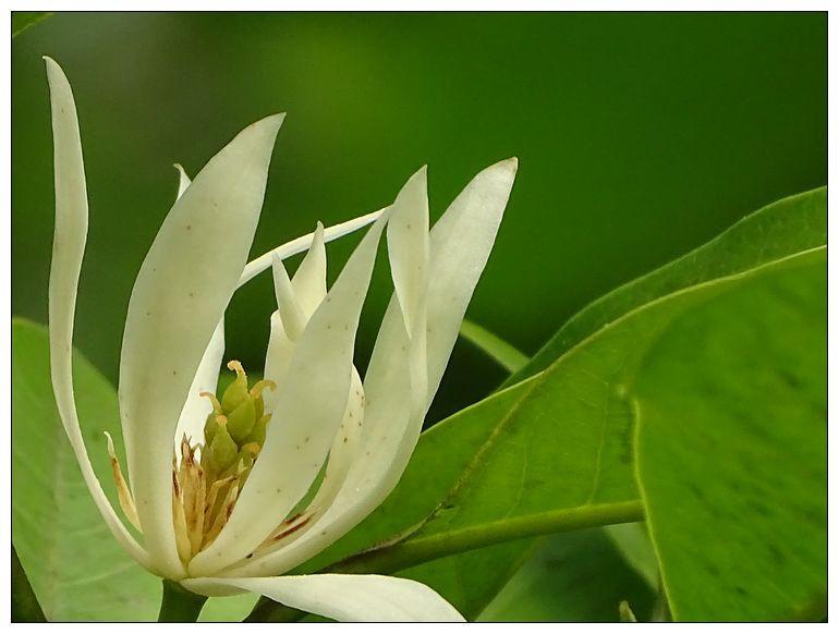 白兰花图片-最新白兰花图片大全